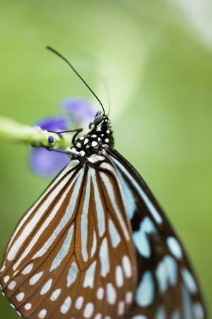 nymphalidae: butterfly
