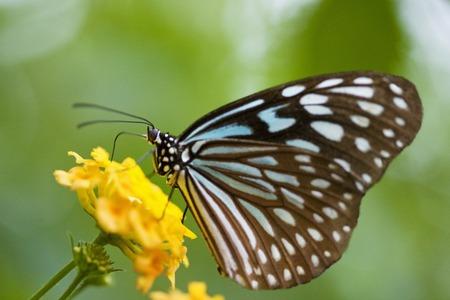 ryukyu: butterfly