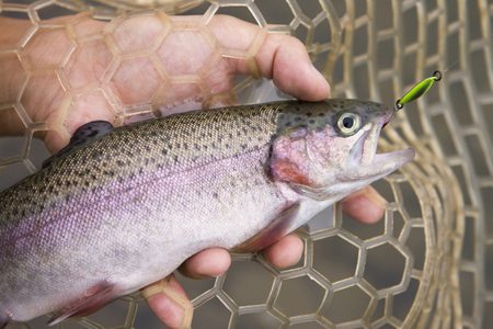 rainbow trout: Rainbow trout that was hit the lure