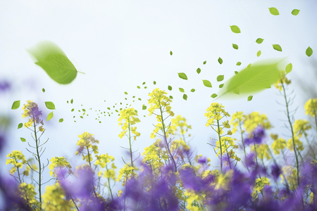 Rape flowers and leaves Stock Photo