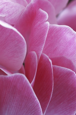 florid: Cyclamen