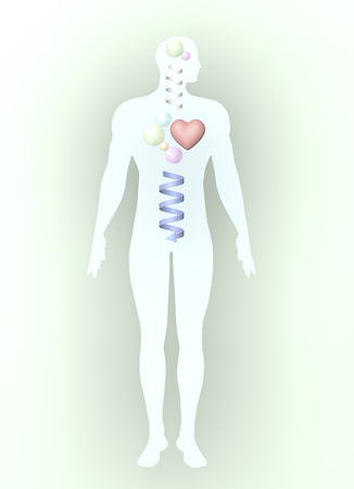 Human body diagram of the male