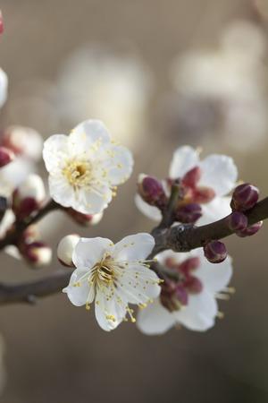 plum island: White plum