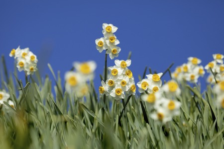 fairyland: Blue sky and narcissus