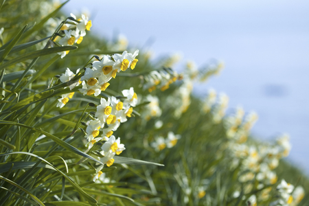 fairyland: Narcissus blooming in the sea