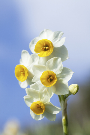 fairyland: Up of narcissus blooming in outdoor Stock Photo