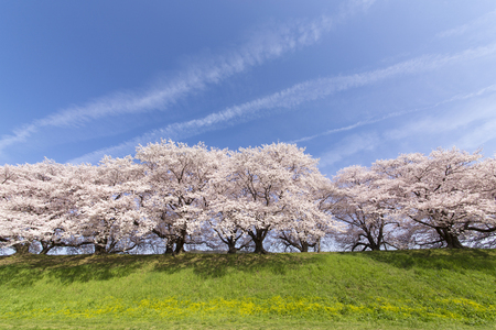 Kyoto Yawata Shi sewari cherry trees