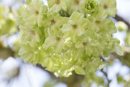 enzo: Cherry green petals