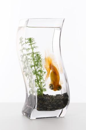 waterweed: Fishbowl goldfish