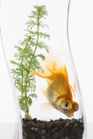 fishbowl: Fishbowl goldfish