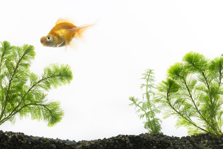 aquarium visit: Goldfish swimming in an aquarium Stock Photo