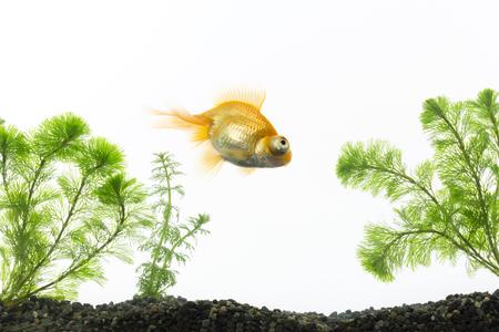 fish breeding: Goldfish swimming in an aquarium Stock Photo