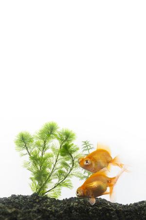 aquarium visit: Two goldfish swimming in an aquarium