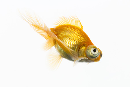 fish breeding: Goldfish