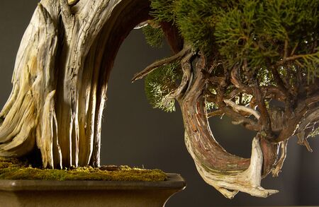 curvaceous: Bonsai Art of curvaceous Stock Photo