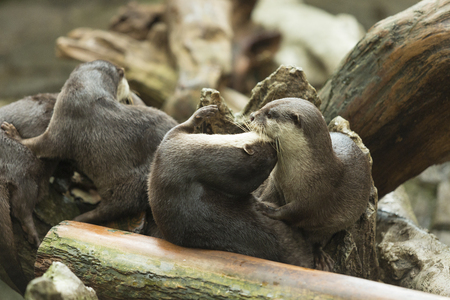 otter: Oriental small-clawed otter to mess around Stock Photo
