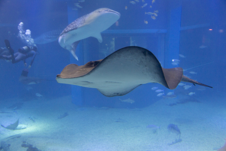 whale shark: Pitted stingray and the whale shark Stock Photo