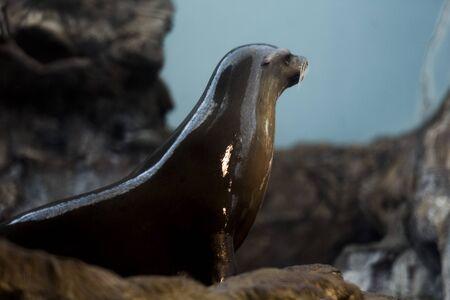 sea lion: California sea lion