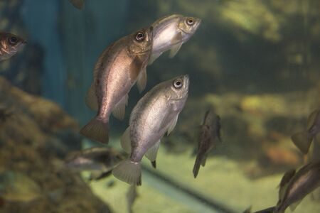 inshore: Herd of rockfish Stock Photo