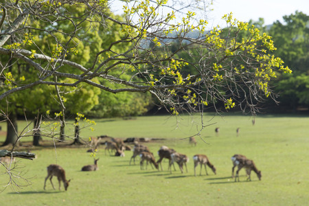 animal only: Herd of shoots and deer tallowtree Stock Photo