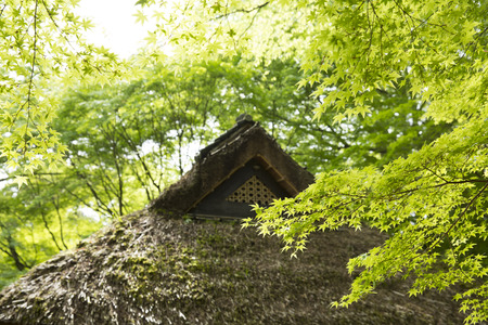 thatched: Thatched roof and fresh green maple