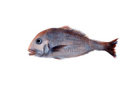 bream: Sea bream Stock Photo