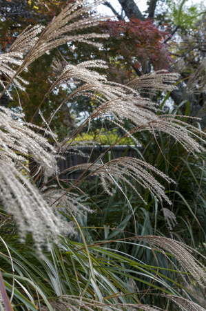 diluted: Pampas grass to fluttering ears in a corner of the garden Stock Photo