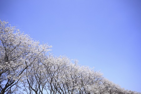pleasent: Cherry blossoms and a blue sky