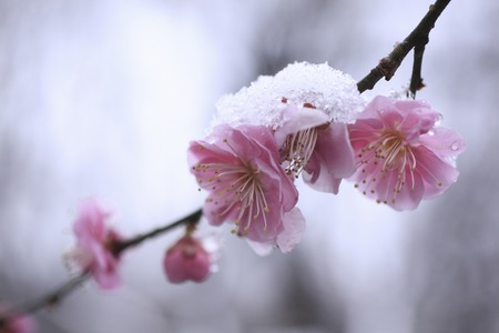 boughs: In the newfallen snow plum flower