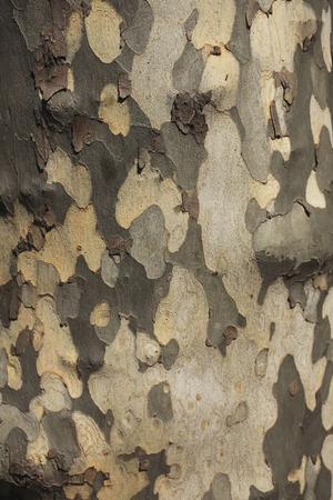 sicomoro: Corteccia di Sycamore