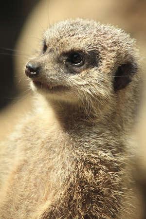 living organisms: Meerkat