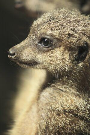 living thing: Meerkat
