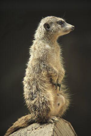 living organism: Meerkat