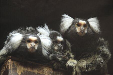 mammalian: Como marmoset