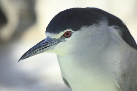 goi: Night heron