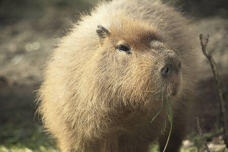 mammalian: Capybara Stock Photo