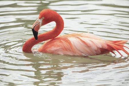 living organism: Flamingo Stock Photo