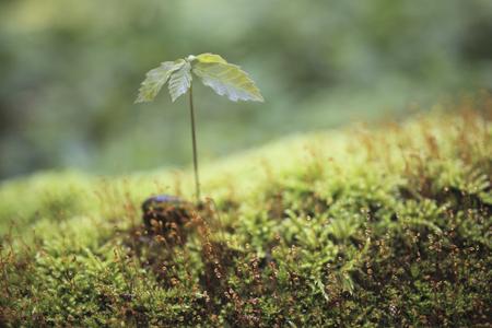 quercus: Buds of Quercus serrata Stock Photo