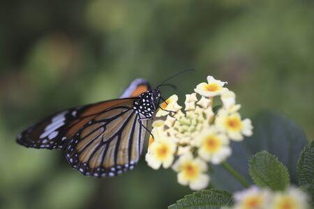 lantana: Lantana flowers and orange tiger
