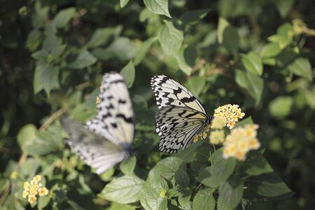 lantana: Big Butterfly suck the Lantana of honey