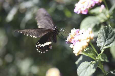 lantana: Papilio Polytes to smoke Lantana of honey Stock Photo