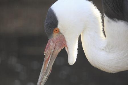 wattled: Wattled crane