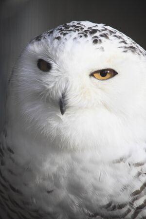 white owl: White Owl