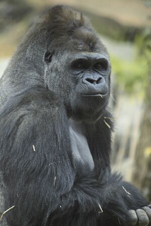 mammalian: Gorilla