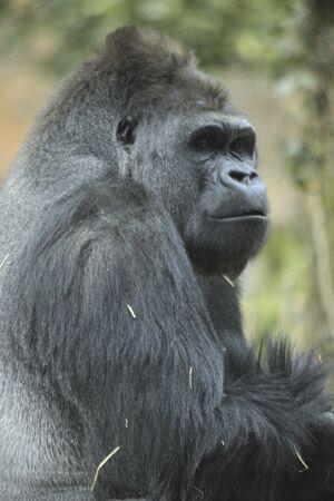 primates: Gorilla