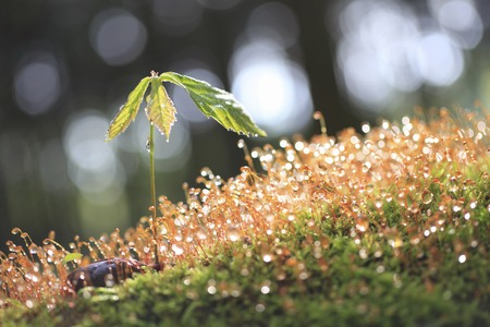 quercus: Sprouts and moss of Quercus