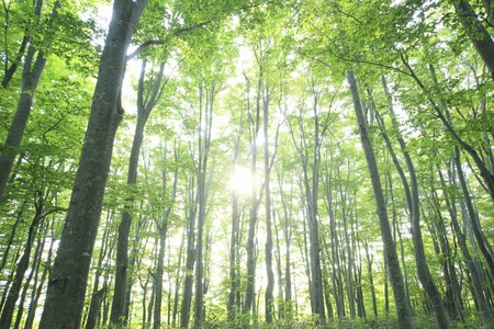 Green beech forests