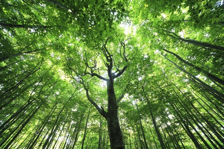 thicket: Green beech forests