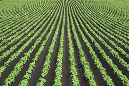 field crop: Vineyard Stock Photo