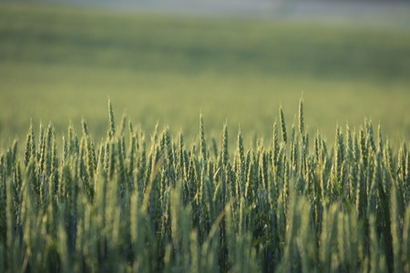 Wheat field of the sun rises tomorrow morning glow photo